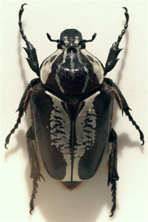 Royal Goliath Beetle Fact Sheet - C.S.W.D