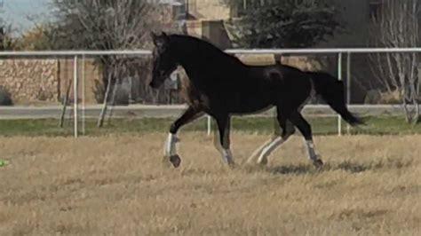 andalusian dressage lusitano horse trainability