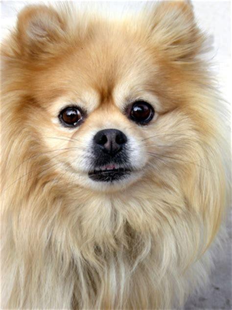 give  pomeranian  haircut pets