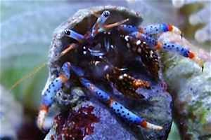 Blue Leg Hermit Crab Care Guide and Information
