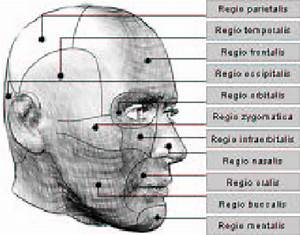 A Medical Map Of The Regions Of A Human Head  Leaders Are