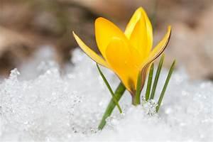 Wieviel Frost Verträgt Die Obstblüte : krokus im schnee wieviel k lte vertr gt der fr hjahrsbl her ~ Frokenaadalensverden.com Haus und Dekorationen
