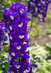 Delphinium King Arthur Group  U2013 Ballyrobert Gardens