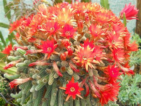 Echinopsis chamaecereus (Peanut Cactus)   World of ...