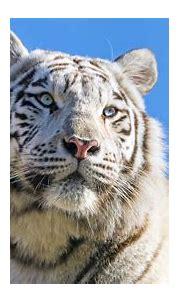 White tiger, Bengal Tiger, Tigress, Blue sky, 4k » Free ...