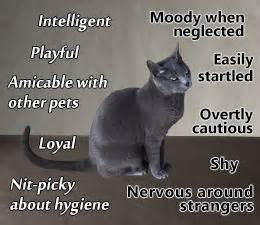 russian blue cat personality 1000 ideas about russian blue on russian blue