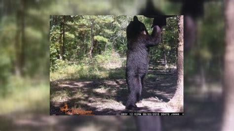 growing bear population  trouble  ne oklahoma