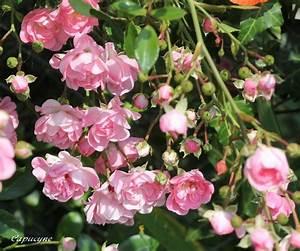 Petit Arbuste Fleuri : arbustes fleuris de juillet au jardin la nature et la plume ~ Premium-room.com Idées de Décoration
