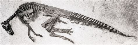 File Ee  Edmontosaurus Annectens Ee   Specimen Jpg Wikimedia Commons