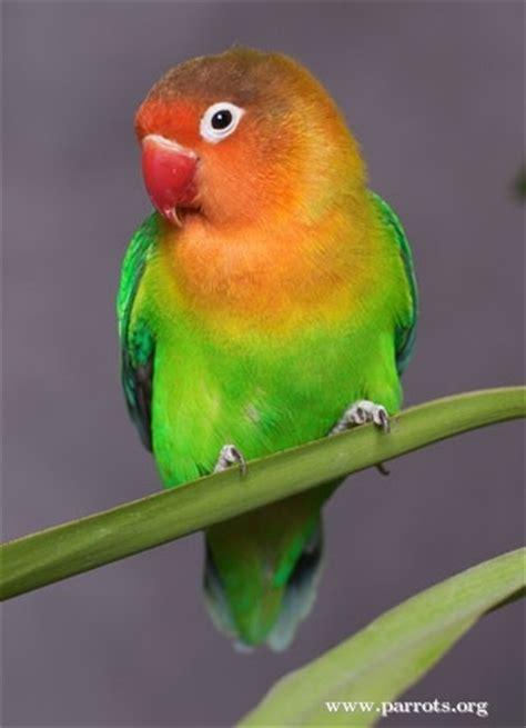parrot encyclopedia fischers lovebird world parrot trust