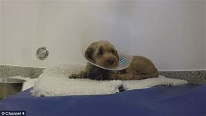 Cockapoo whose paw was chopped off given a bionic paw on ...