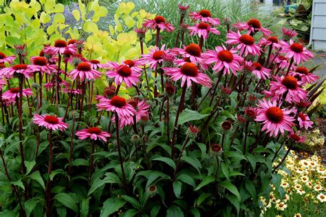 echinacea merlot 10 best low maintenance flowers for effortless garden