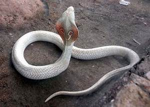 white cobra | N | Pinterest