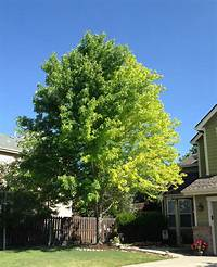 front yard trees 13 year old Autumn Blaze Maple problem - Ask an Expert