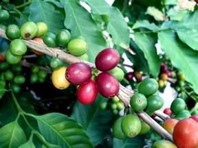 Coffee Bean Plant Flower Coffee-beans-800