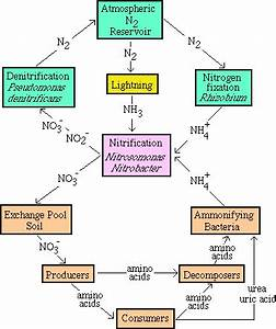 Can anyone please explain the Nitrogen cycle in s ...