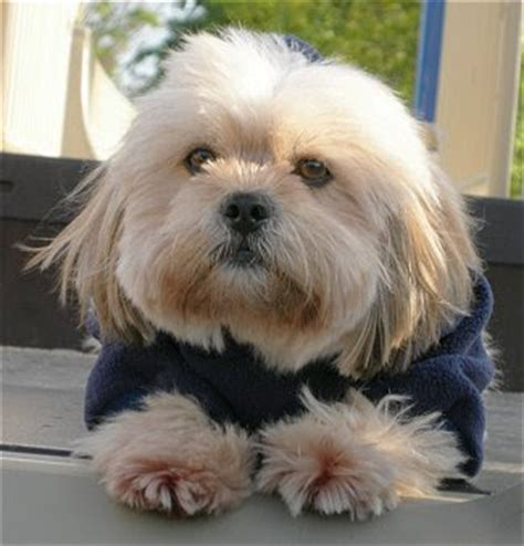 lhasa apso dog breed images dog pictures