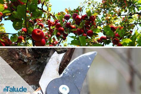 apfelbaum schneiden anleitung anleitung apfelbaum selbst schneiden apfelbaumschnitt