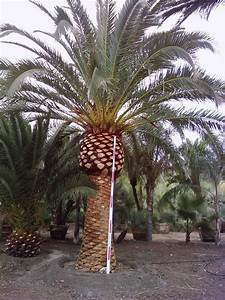 Gregory Palm Farms  Wanted  Canary Island Palm Trees