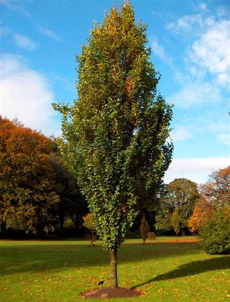 87 Best Images About Beech Cultivars On Pinterest Trees