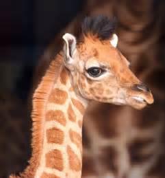Babies Giraffe Twins