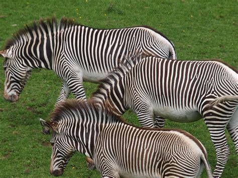zebra striped animals horse zebras savannah horses zoo mammals mammal africa steppe pattern vertebrate fauna wildlife domain pxhere