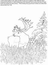 Caribou Coloring Pages Moss Reindeer Cartoon Template Sketch Getcoloringpages Santa sketch template