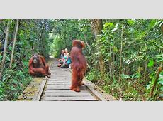 Orangutans in Borneo A Guide to Tanjung Puting National