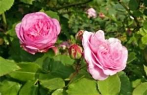 Rosenrost Was Tun : die drei h ufigsten krankheiten bei rosen ~ Lizthompson.info Haus und Dekorationen
