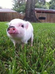 Girl Meets Micro Pig