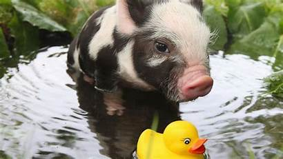 Pigs Animals Water Pig Wallpapers Ducks Rubber