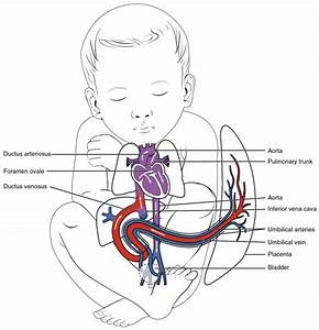Cardiovascular System  Circulatory System   Parts And