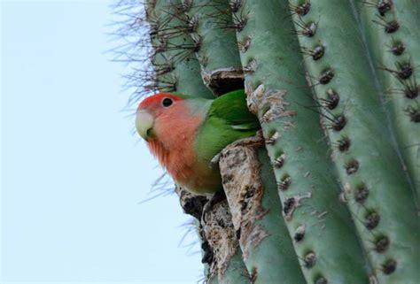 peach faced lovebirds in phoenix az parrots in cactus