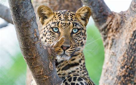 wallpaper leopard big cat panthera hd animals