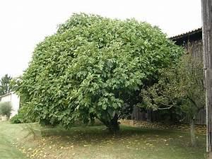 Planter Un Figuier : pourquoi planter un figuier ~ Melissatoandfro.com Idées de Décoration