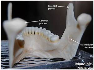 Mandible  Posterior View With Labels