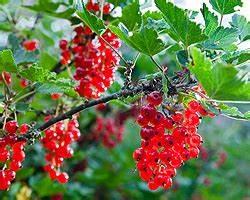 Rote Johannisbeeren Schneiden : rote johannisbeeren schneiden wei e johannisbeeren schneiden ~ Lizthompson.info Haus und Dekorationen