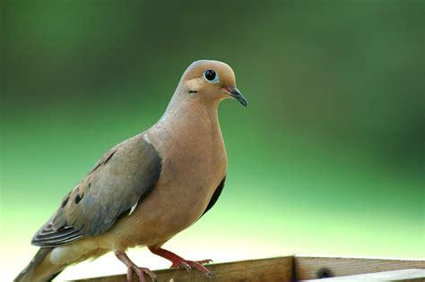 whistling wings mourning dove mourning dove zenaida macr flickr