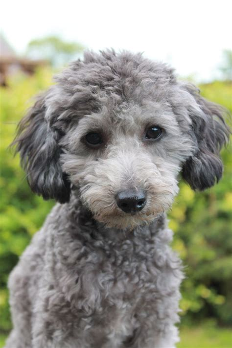 silver toy poodle boy  stud dl reg skipton north