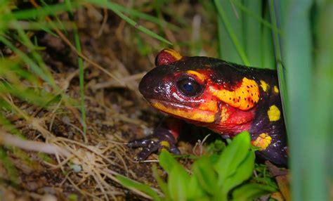 picture nature amphibian salamander frog eye