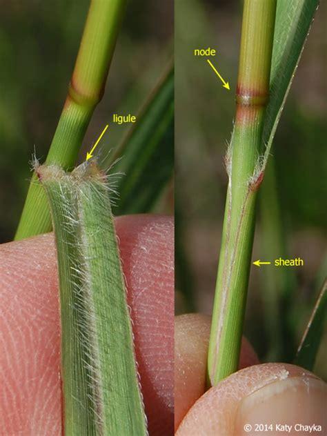 panicum switchgrass virgatum grass ligule sheath node leaf switch membrane