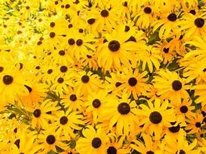 Gelbe Winterharte Pflanzen : sommerbl hende stauden pflanzen die parzelle ~ Markanthonyermac.com Haus und Dekorationen