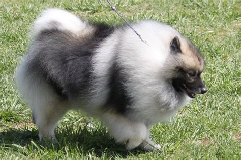 wire fox terrier shedding keeshond breed information keeshond images keeshond