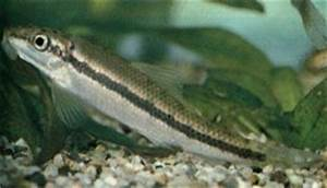 What algae eater will go with my honey gouramis and neon