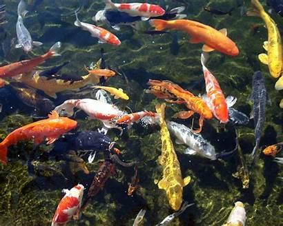 Koi Pond Wallpapers Fish Cave