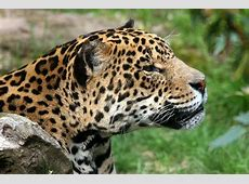 National Mammal Of Mexico Jaguar 123Countriescom