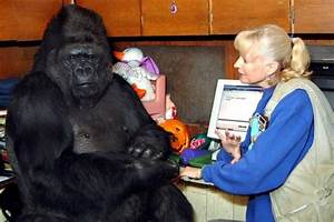 Gorilla Size Chart How Koko The Gorilla Impacted Millions Throughout Her 46