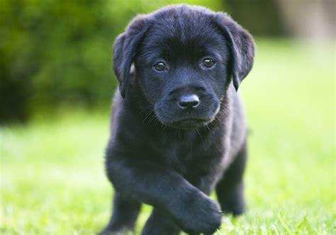 American Labrador Retriever Puppy