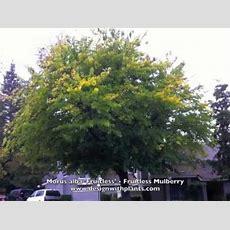 Morus Alba 'fruitless'  Fruitless Mulberry Youtube
