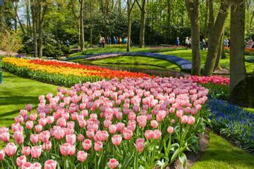 tulips bed farm hd skip the line keukenhof gardens and tulip farm from amsterdam 2018